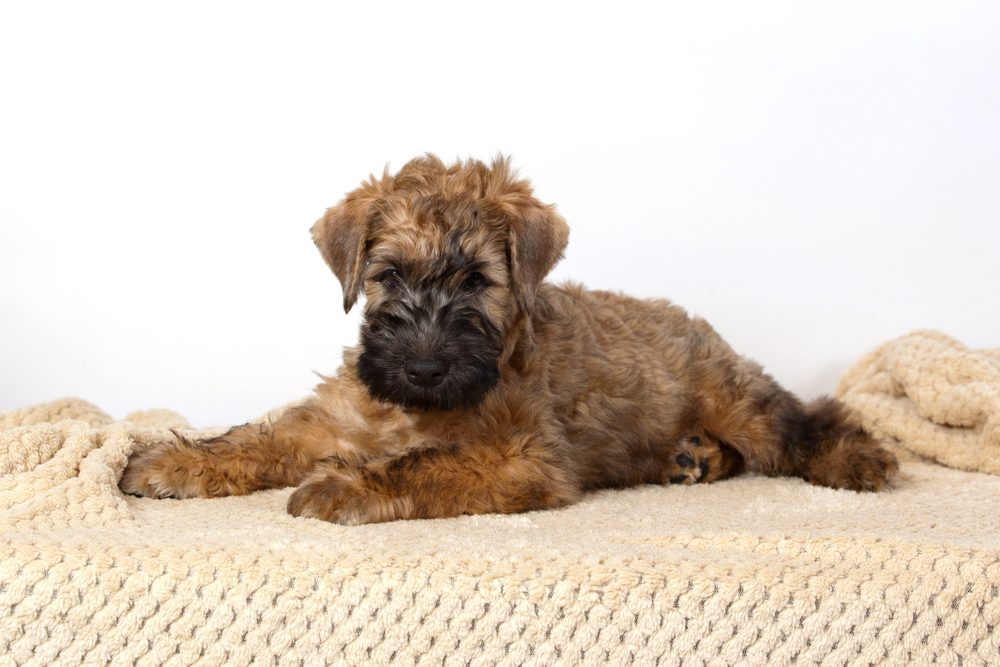 Cute dogs, Cutest dog breeds, Cute puppies, Irish Soft Coated Wheaten Terrier on white background