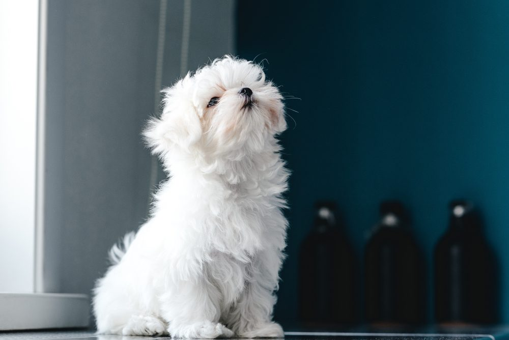 Cute dogs, Cutest dog breeds, Cute puppies, Portrait of a cute white long-haired Maltese. The puppy is 4 month old on the picture.
