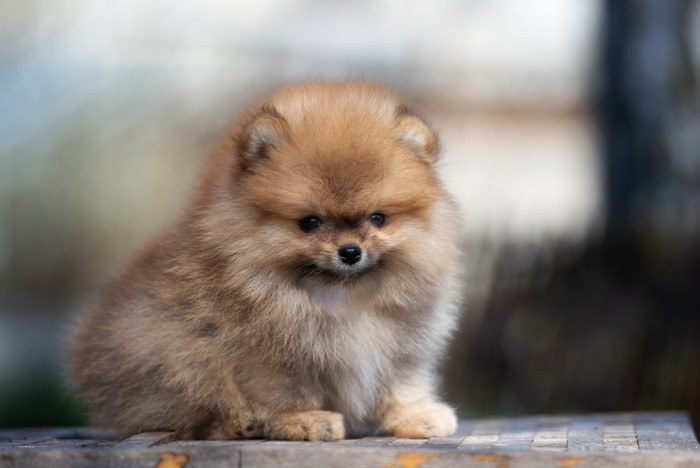 Cute dogs, Cutest dog breeds, Cute puppies, adorable red pomeranian spitz puppy posing outdoors