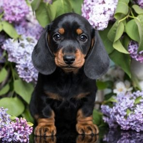 Cute dogs, Cutest dog breeds, Cute puppies, portrait of a beautiful puppy breed of dachshund
