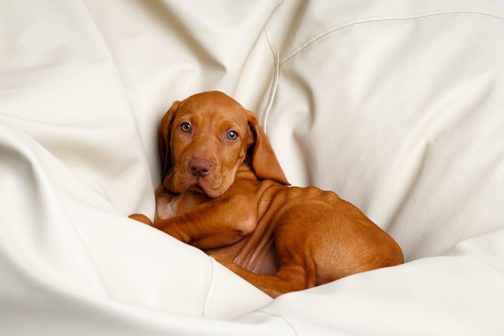 Cute dogs, Cutest dog breeds, Cute puppies, dog Hungarian viszla