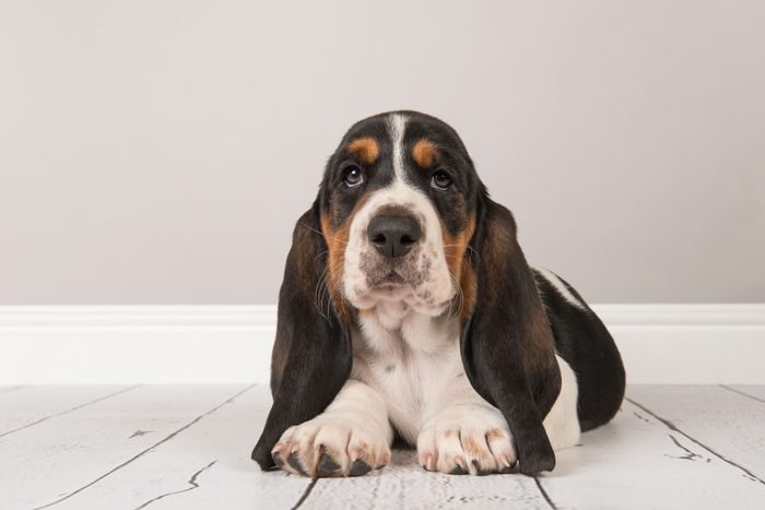 Cute dogs, Cutest dog breeds, Cute puppies, Cute tricolor basset hound puppy lying down looking at the camera in a gray living room setting