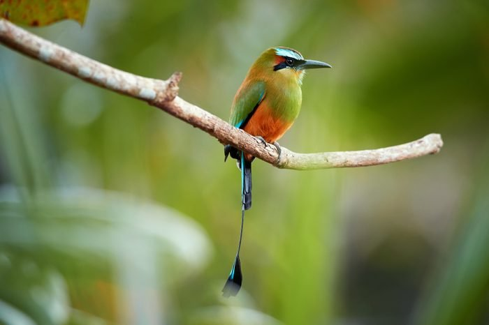 Isolated Turquoise-browed motmot, Eumomota superciliosa, tropical bird with racketed tail native to central America, national bird of El Salvador and Nicaragua. Costa Rica wildlife photography.
