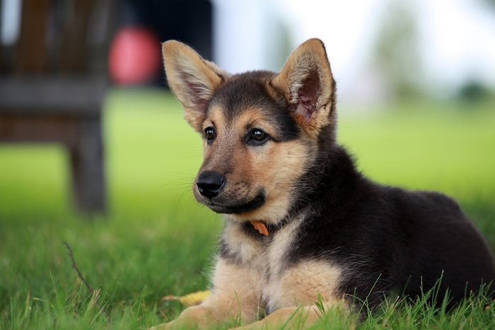 German shepherd puppy relaxing on a warm summer day, cute dogs, Cutest dog breeds, Cute puppies