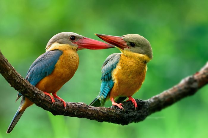 Adult and Juvenile of Stork-billed Kingfisher, lovely brown bird with turquiose blue wings and red beaks perching together on curve vain on training for fishing hour