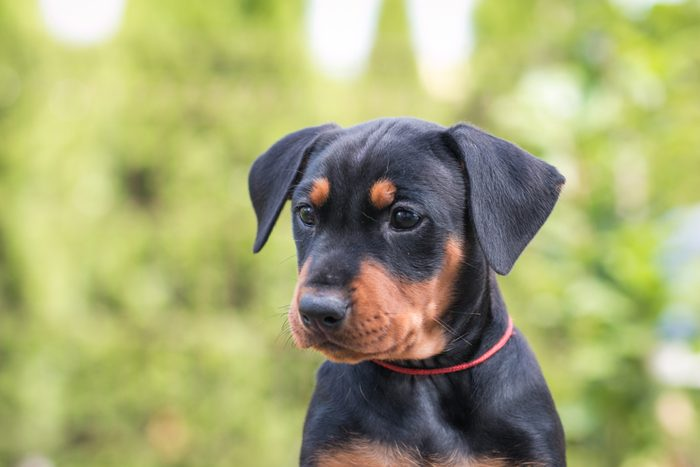 Cute dogs, Cutest dog breeds, Cute puppies, Cute pincher puppy in the grass. Puppy green portrait outside.