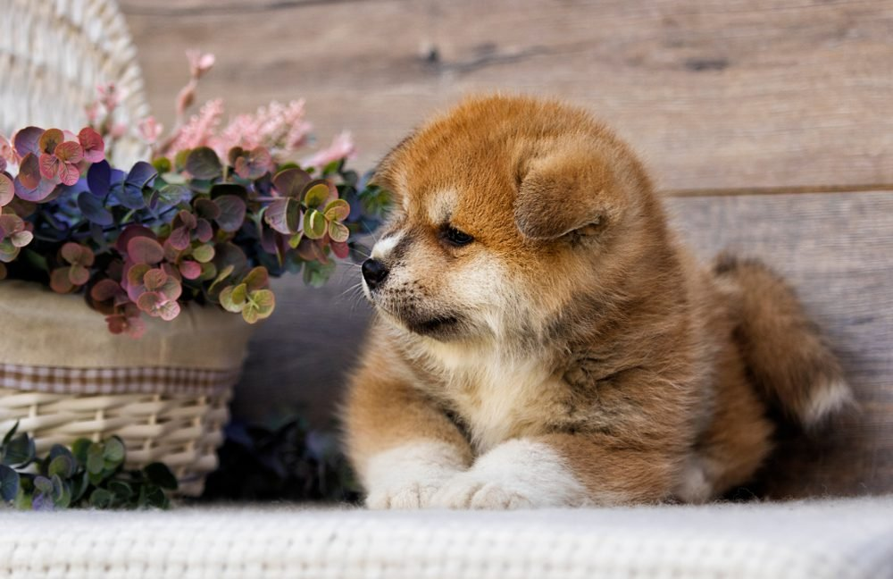 Cute dogs, Cutest dog breeds, Cute puppies, Akita puppy on wooden background