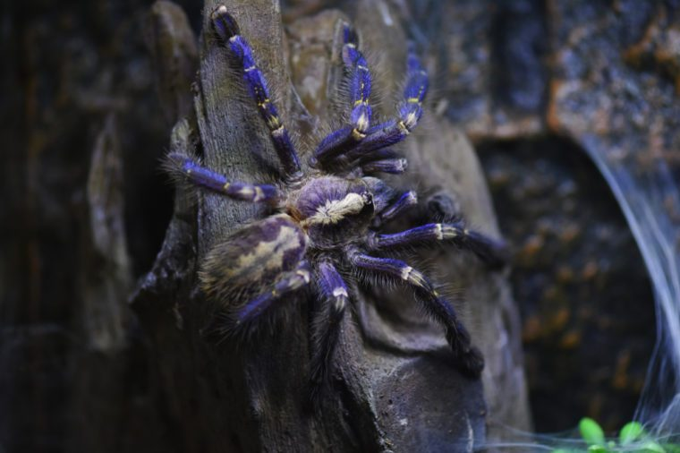 Young Gooty sapphire ornamental tree spider