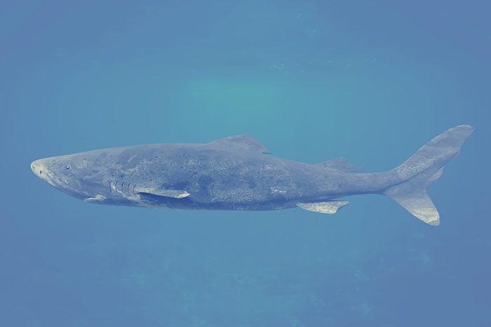 Greenland shark, Somniosus microcephalus, shark with the longest known lifespan of all vertebrate species (3d illustration)