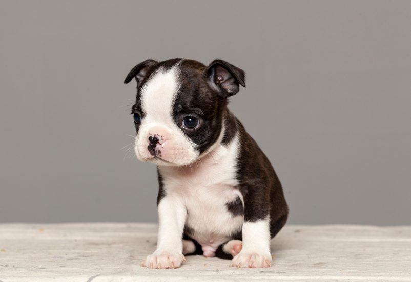 Cute dogs, Cutest dog breeds, Cute puppies, puppy dog boston terrier