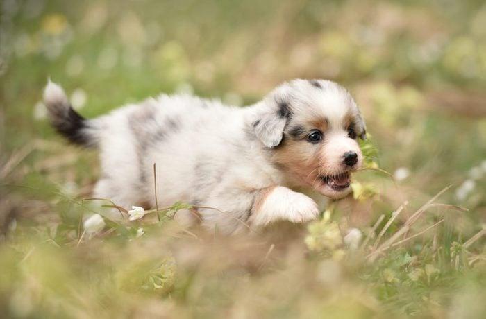 Cute dogs, Cutest dog breeds, Cute puppies, Puppy discover the world. Australian shepherd puppy.