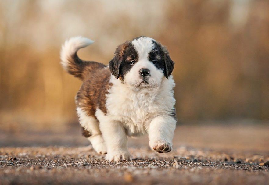 Cute dogs, Cutest dog breeds, Cute puppies, Saint bernard puppy