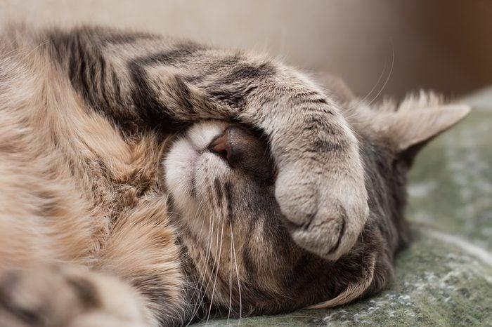 Cute sleeping gray domestic cat closeup portrait