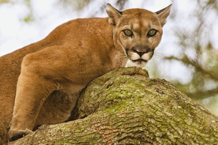 VARIOUS Florida panther in tree, Puma concolor coryi, White Oak Conservation Center, Florida