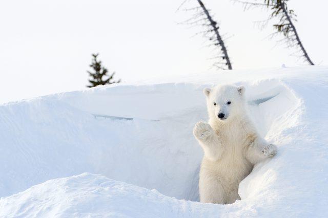 Polar Bear (Ursus maritimus) cub coming out den and playing around, Wapusk national park, Canada.