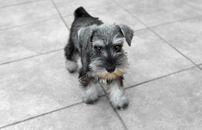 Cute dogs, Cutest dog breeds, Cute puppies, Miniature salt and pepper schnauzer puppy posing
