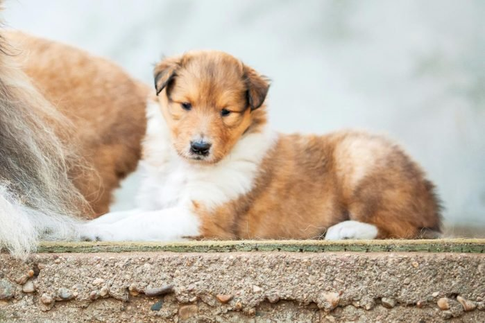 Cute dogs, Cutest dog breeds, Cute puppies, Portrait of rough collie with little puppies