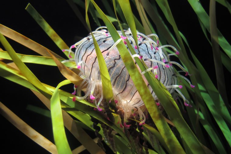 A Flower Hat Jellyfish or Olindias formosa from off the coast of Japan