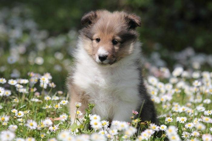 Cute dogs, Cutest dog breeds, Cute puppies, American Shetland Sheepdog puppy