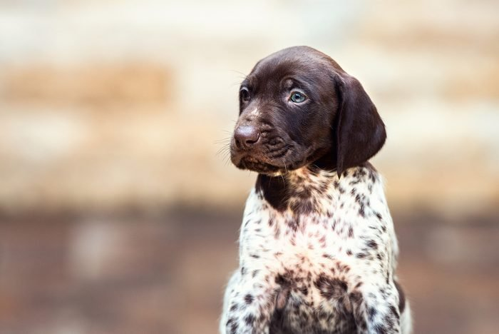 Cute dogs, Cutest dog breeds, Cute puppies, Beautiful puppy German Short haired Pointer