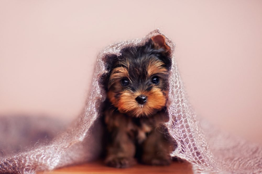 Cute dogs, Cutest dog breeds, Cute puppies, Beautiful puppy sitting under a fluffy scarf.