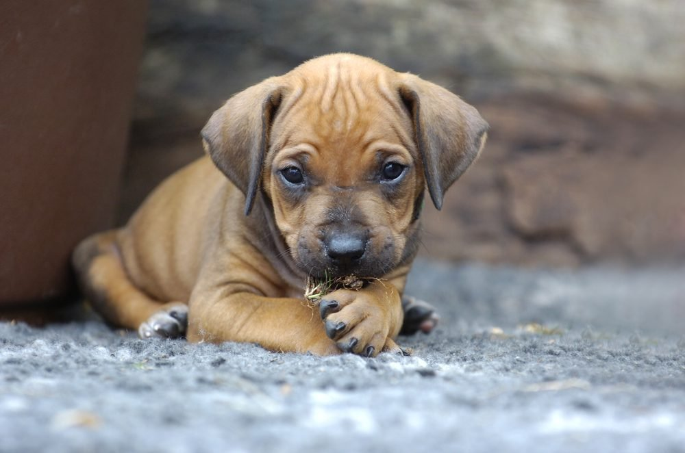 Cute dogs, Cutest dog breeds, Cute puppies, Young Rhodesian Ridgeback puppy playing in the garden