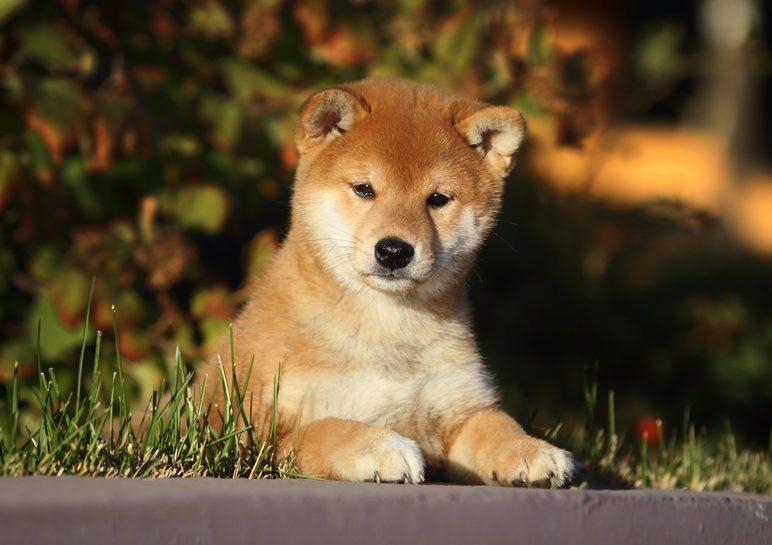 Cute dogs, Cutest dog breeds, Cute puppies, shiba inu puppy