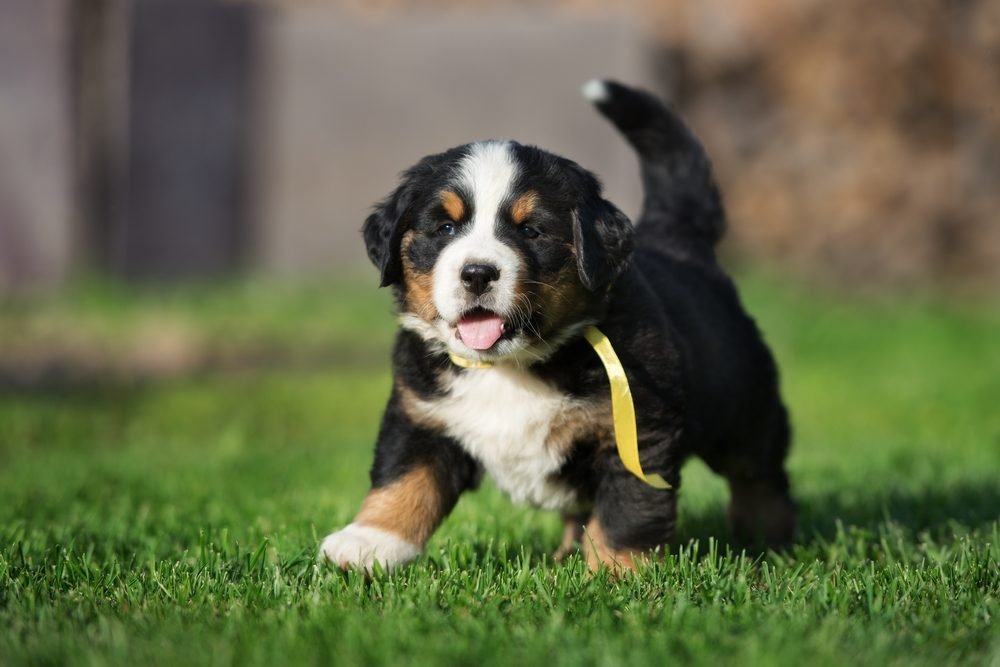 Cute dogs, Cutest dog breeds, Cute puppies, happy bernese mountain puppy walking outdoors