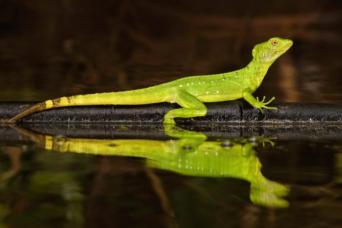 Double-crested basilisk, Basiliscus plumifrons, mirror art view on the tropical river. Beautiful portrait of rare lizard from Costa Rica.