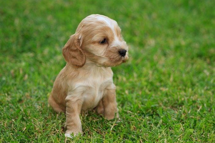 Cute dogs, Cutest dog breeds, Cute puppies, Cocker Spaniel puppy