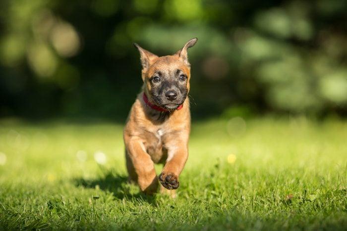 Cute dogs, Cutest dog breeds, Cute puppies, Running Belgian shepherd malinois puppy