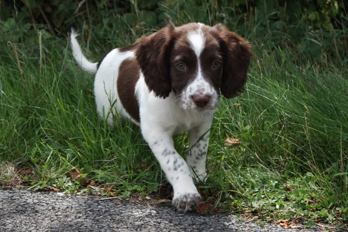 Cute dogs, Cutest dog breeds, Cute puppies, young liver and white working type english springer spaniel pet gundog puppy