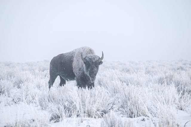 An American Bison in a winter scene