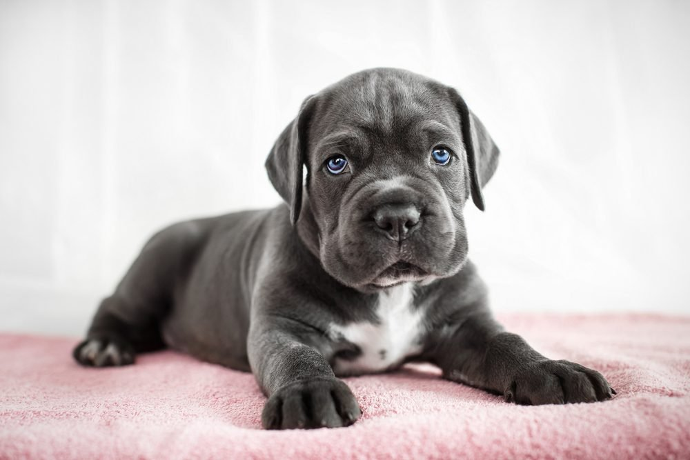 Cute dogs, Cutest dog breeds, Cute puppies, Cane Corso puppy on a white background
