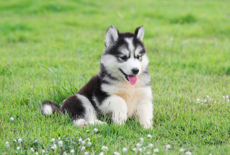 Cute dogs, Cutest dog breeds, Cute puppies, Cute siberian husky puppy on grass