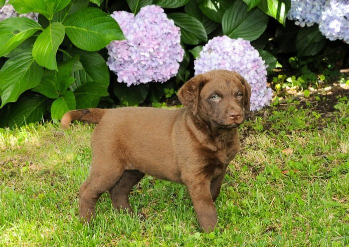 Cute dogs, Cutest dog breeds, Cute puppies, Portrait of puppy Chesapeake Bay Retriever in outdoors.