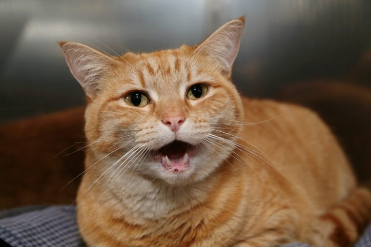 Homeless animals series. Ginger cat looking out of his cage meowing