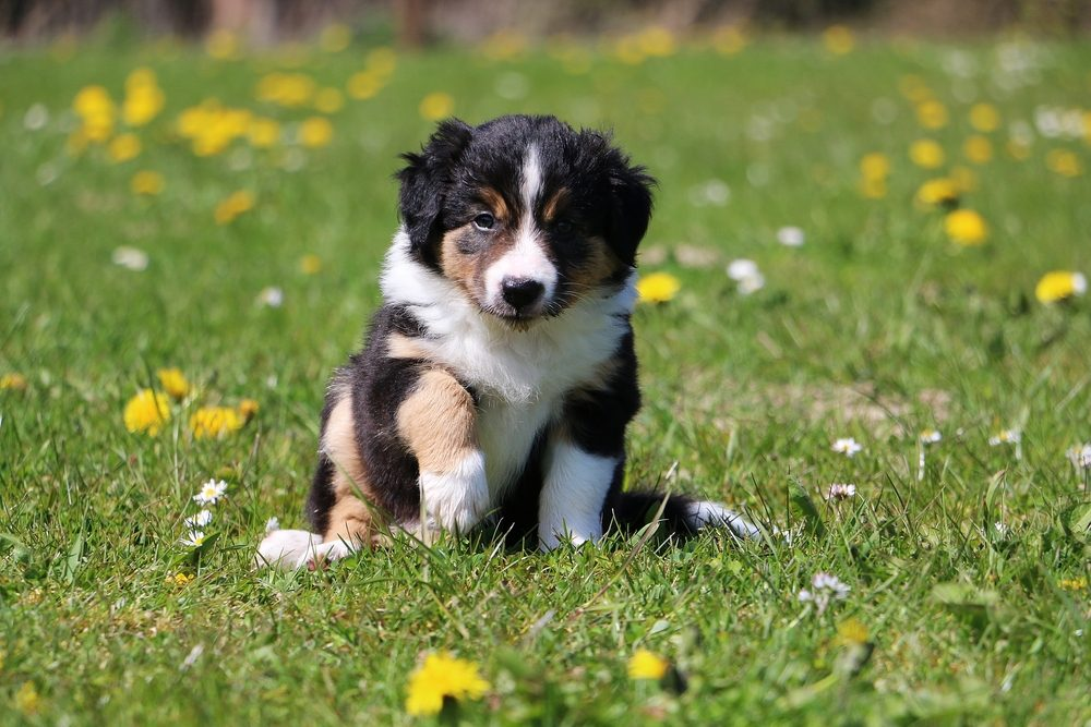 Cute dogs, Cutest dog breeds, Cute puppies, border collie puppy