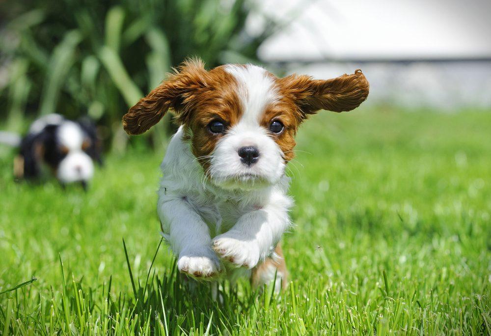 Cute dogs, Cutest dog breeds, Cute puppies, Cavalier King Charles spaniel puppy in garden