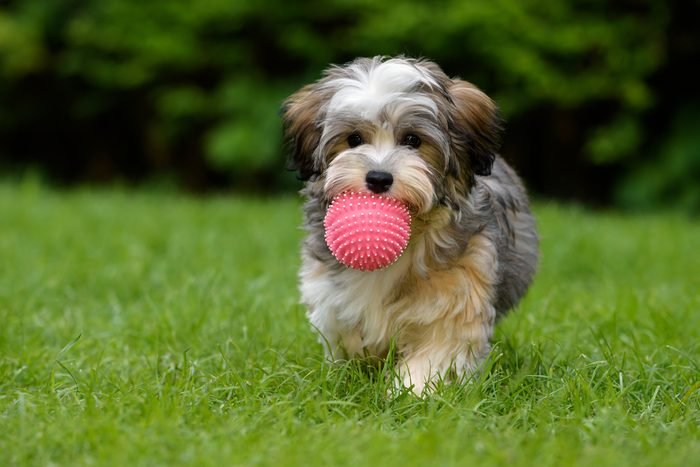 Cute dogs, Cutest dog breeds, Cute puppies, Playful havanese puppy dog brings a pink ball towards the camera in the grass