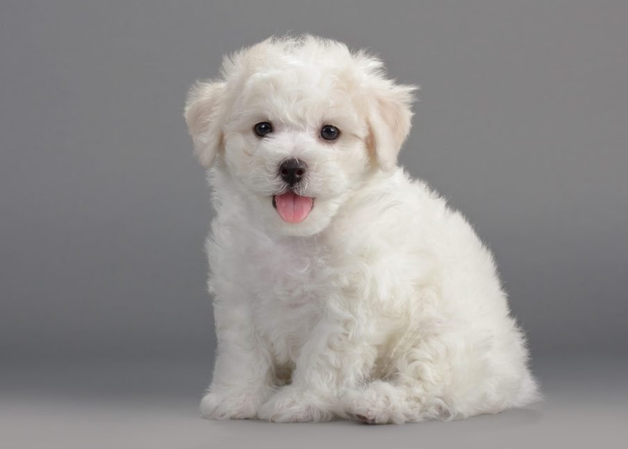 Cute dogs, Cutest dog breeds, Cute puppies, Bichon Frise puppies on a gray background. Not isolated.