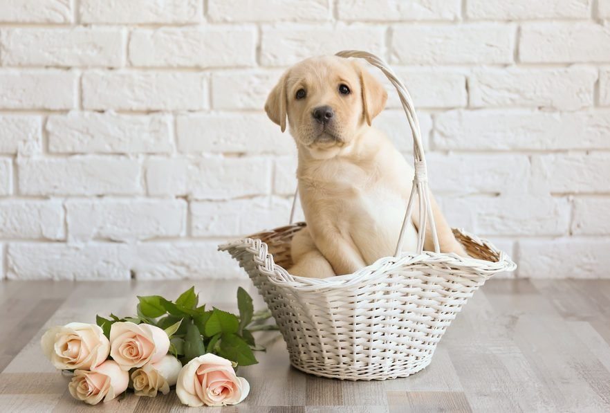 Cutest Dog Breeds As Puppies Reader S Digest