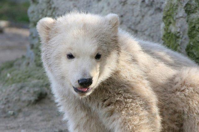 Three month old baby Polar Bear cub (Ursus maritimus) close up portrait.