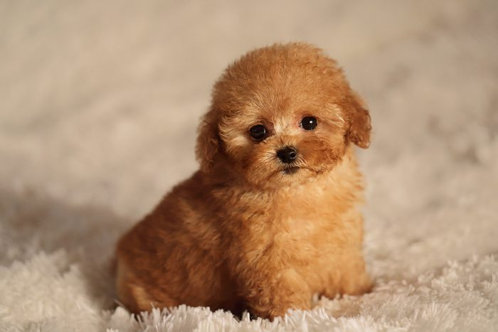 Cute dogs, Cutest dog breeds, Cute puppies, puppy tea cup poodle dog