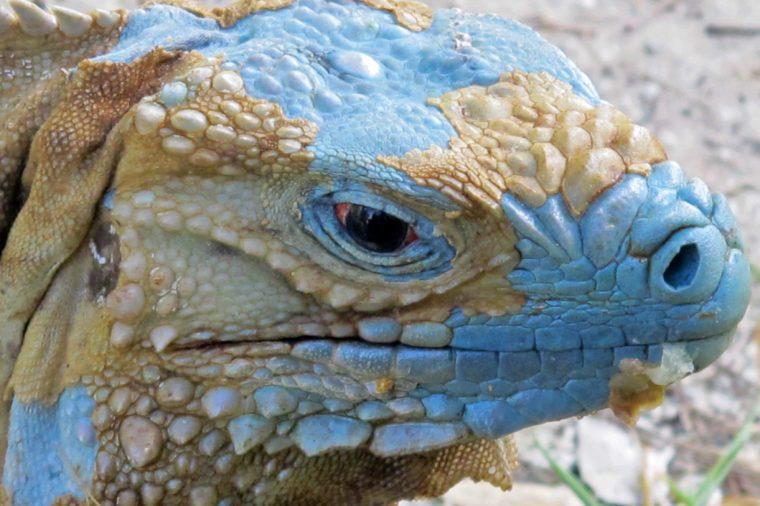 Cayman Islands Blue Iguanas