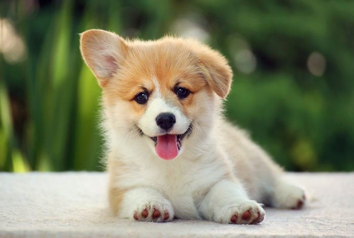 Dog welsh corgi pembroke puppy smile
