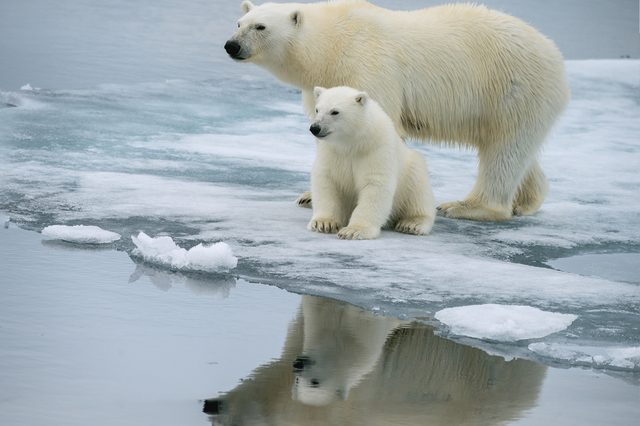 polar bear sow and pose together on ice floe in norwegian arctic waters, with nice reflection