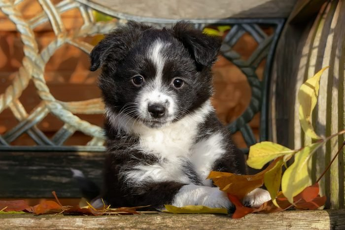 Cute dogs, Cutest dog breeds, Cute puppies, Cute young black bi-color Miniature American Shepherd dog puppy on a wooden bench, the intelligent dog breed is a also called Miniature Australian Shepherd.