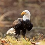 Here's How the Bald Eagle Almost Wasn't the National Bird