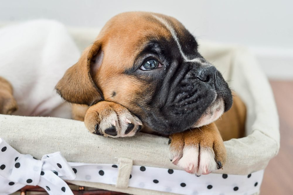 Cute dogs, Cutest dog breeds, Cute puppies, piercing gaze of a German boxer puppy lying in a stowage basket